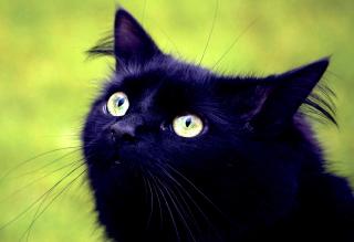 Blackest Black Cat And Green Grass