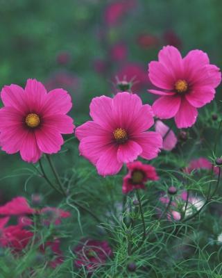 Bright Pink Flowers para Huawei G7300