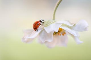 Red Ladybug On White Flower