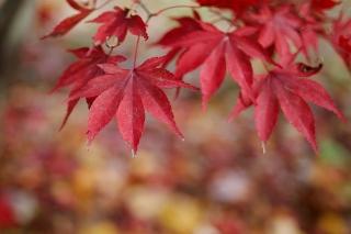 Red Leaves Bokeh