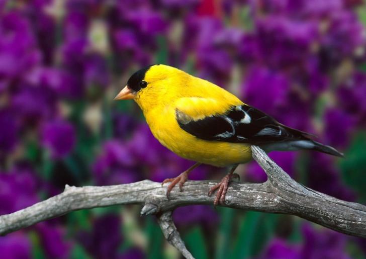 Male American Goldfinch screenshot #1