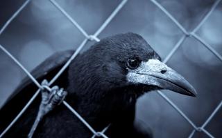 Smart Raven