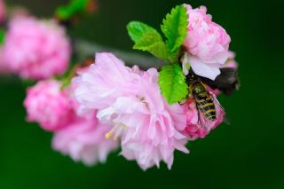 Bee On Pink Rose para Nokia X2-01
