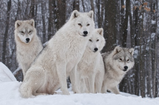 Wolf Pack Howls para Motorola RAZR XT910