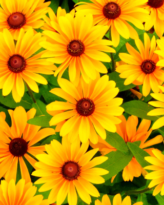 Rudbeckia Yellow Flowers para Blackberry RIM Torch 9800