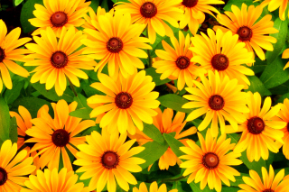 Rudbeckia Yellow Flowers para Motorola RAZR XT910