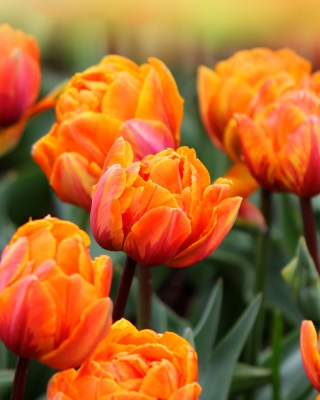 Orange Tulips para Samsung GT-S5230 Star