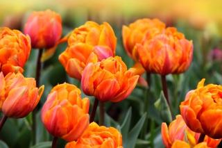 Orange Tulips para Sony Ericsson XPERIA X8