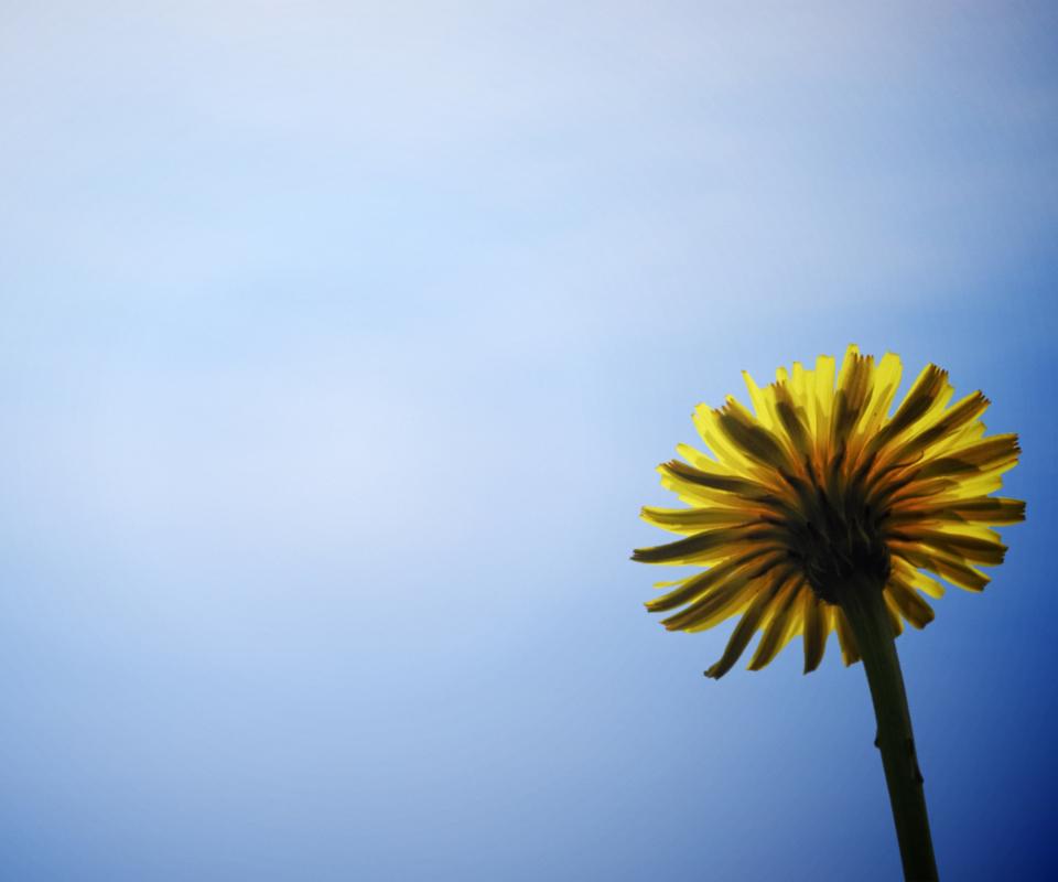 Yellow Dandelion Wallpaper Yellow Dandelion on Blue Sky